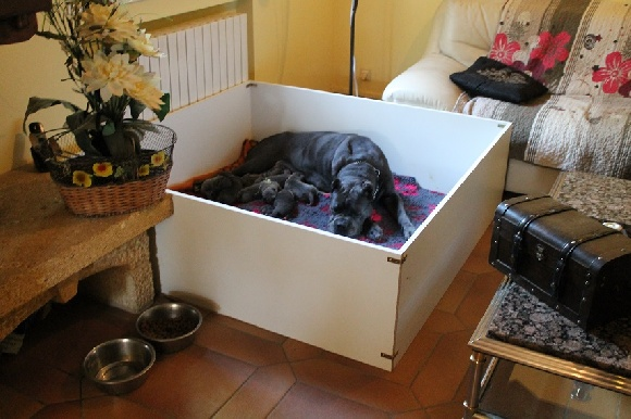 elevage de cane corso du coliseum de cassiop eleveur de chiens cane corso dans la drome ardeche. Black Bedroom Furniture Sets. Home Design Ideas